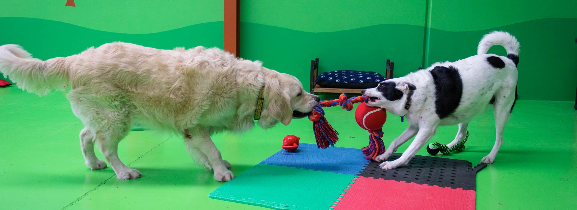 Two dogs tugging for a toy