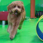 Brown Dog Running on Playground